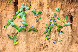 Mixed flock of Mealy Parrots (Amazona farinosa) and Blue-headed Parrots (Pionus menstruus) feeding at the wall of a clay lick. Blanquillo Clay Lick, Manu Biosphere Reserve, Peru. November.  -  Alex  Hyde