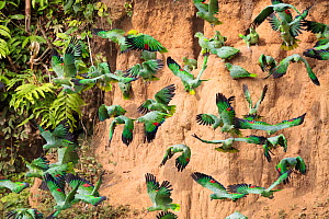 Mealy Parrots (Amazona farinosa) feeding at the wall of a clay lick. Blanquillo Clay Lick, Manu Biosphere Reserve, Peru. November.  -  Alex  Hyde