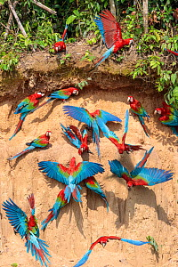 Red-and-Green Macaws (Ara chloropterus), feeding at the wall of a riverside clay lick. Blanquillo Clay Lick, Manu Biosphere Reserve, Peru. November. - Alex  Hyde
