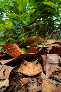 Amazonian Horned Frog (Ceratophrys cornuta) camouflaged amongst leaf litter on lowland rainforest floor, waiting to ambush passing prey. Manu Biosphere Reserve, Amazonia, Peru. November.  -  Alex  Hyde