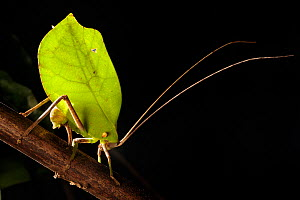 Leaf-mimicking Katydid (Tettigoniidae) female ovipositing into palm stem at night. Manu Biosphere Reserve, Amazonia, Peru. November.  -  Alex  Hyde