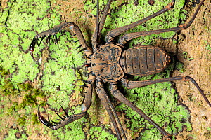 Tailless Whipscorpion (Heterophrynus elephas) hunting invertebrate prey at night on tree butress root. The raptorial pedipalps are extended, with which it grabs its prey much like a praying mantis. Ma...  -  Alex  Hyde