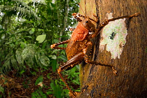 Spiny lobster katydid (Panoploscelis sp.) on tree trunk. Manu Biosphere Reserve, Amazonia, Peru. November.  -  Alex  Hyde