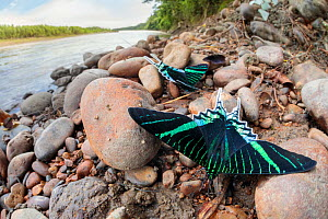 Green-banded urania moth (Urania leilus) moths drinking salts from mineral-rich river clay, a behaviour know as 'puddling'. On the banks of the Manu River, Manu Biosphere Reserve, Amazonia, Pe...  -  Alex  Hyde