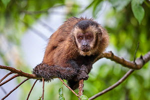 Brown / Tufted Capuchin (Cebus apella) in cloud forest, Manu Biosphere Reserve, Peru. - Alex  Hyde
