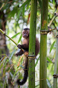 Brown / Tufted Capuchin (Cebus apella) juvenile in cloud forest, Manu Biosphere Reserve, Peru. - Alex  Hyde