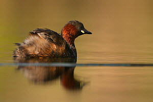 Little grebe (Tachybaptus ruficollis) on water. Sado estuary, Portugal. March  -  Pedro  Narra