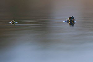 Mediterranean pond turtles (Mauremys leprosa) breathing at surface, Sado Estuary, Portugal. March  -  Pedro  Narra