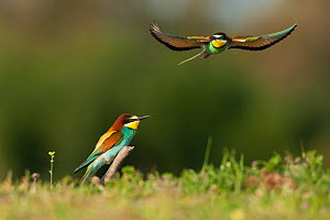 European Bee-eater (Merops apiaster) courtship, Sado Estuary, Portugal. April - Pedro  Narra