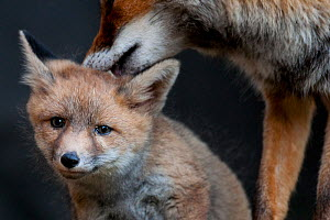 Red fox (Vulpes vulpes) vixen grooming cub, Sado Estuary, Portugal. May - Pedro  Narra