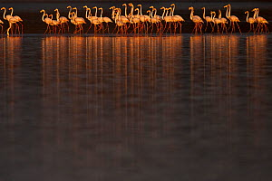 Greater flamingos (Phoenicopterus roseus) flock, Sado Estuary, Portugal. January  -  Pedro  Narra
