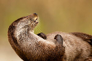 European otter (Lutra lutra) resting on back, Sado Estuary, Portugal. March  -  Pedro  Narra