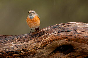 Redstart (Phoenicurus phoenicurus) perched. Sado Estuary, Portugal. October - Pedro  Narra