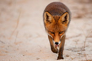 Red fox (Vulpes vulpes) walking, Sado Estuary, Portugal. October  -  Pedro  Narra