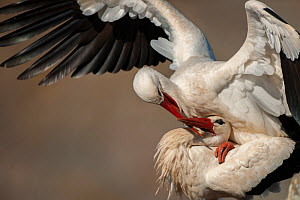 White stork (Ciconia ciconia) pair mating, Sado estuary, Portugal. February  -  Pedro  Narra