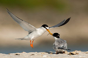 Little Tern (Sterna albifrons) courtship feeding, Sado Estuary, Portugal. June  -  Pedro  Narra