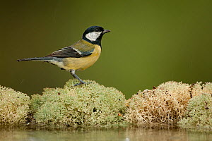 Great tit (Parus major) at edge of pool with lichens, Sado estuary, Portugal. October  -  Pedro  Narra