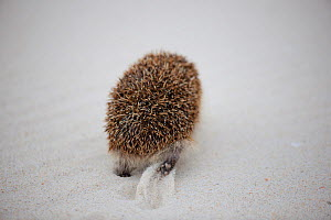Hedgehog (Erinaceus europaeus) walking away, rear view, Sado Estuary, Portugal . March  -  Pedro  Narra