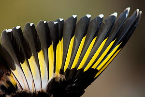 Goldfinch (Carduelis carduelis) wing detail. Sado Estuary, Portugal. October  -  Pedro  Narra