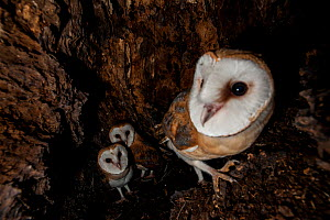 Barn Owl (Tyto alba) chicks in nest, Sado Estuary, Portugal . June - Pedro  Narra