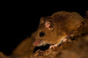 Wood mouse (Apodemus sylvaticus) at night, Sado estuary, Portugal . February  -  Pedro  Narra