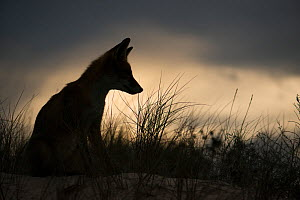 Red fox (Vulpes vulpes) silhouetted, Sado Estuary, Portugal. September - Pedro  Narra