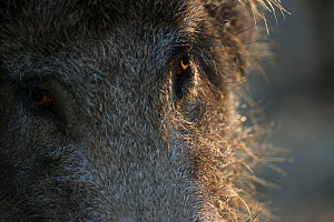 Wild boar (Sus scrofa) portrait, Sado Estuary, Portugal. July  -  Pedro  Narra
