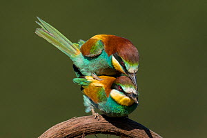 European Bee-eaters (Merops apiaster) mating. Sado Estuary, Portugal. May  -  Pedro  Narra