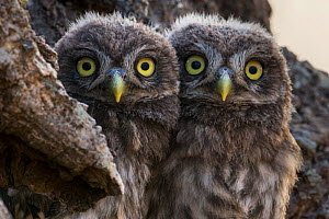 Little Owl (Athene noctua) chicks, Sado Estuary, Portugal. June  -  Pedro  Narra