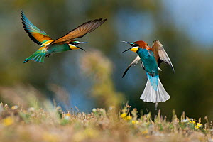 European Bee-eater (Merops apiaster) squabbling, Sado Estuary, Portugal. April - Pedro  Narra
