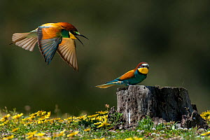 European Bee-eaters (Merops apiaster) Sado Estuary, Portugal. April - Pedro  Narra