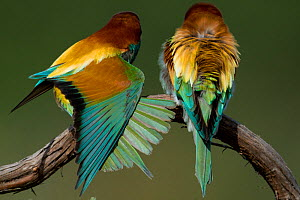 European Bee-eater (Merops apiaster) two perched, one stretching, Sado Estuary, Portugal. May  -  Pedro  Narra