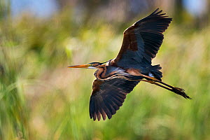 Purple Heron (Ardea purpurea) in flight, Sado estuary, Portugal. April  -  Pedro  Narra