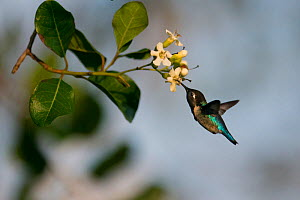 Bee hummingbird (Mellisuga helenae) feeding from flower, Guanahacabibes Peninsula National Park, Cuba  -  Pedro  Narra