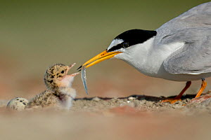Little Tern (Sterna albifrons) feeding chick, Sado Estuary, Portugal. June - Pedro  Narra