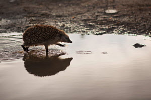Hedgehog (Erinaceus europaeus) walking through puddle. Sado Estuary, Portugal . March - Pedro  Narra