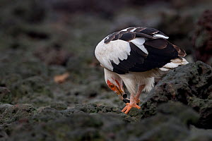 Palm-nut vulture (Gypohierax angolensis) feeding on baby Green turtle (Chelonia mydas) emerging from the nest, Bissagos Islands, Guinea Bissau. - Pedro  Narra
