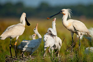 White spoonbill (Platalea leucorodia) adults at nest with chicks, Sado estuary, Portugal. May  -  Pedro  Narra