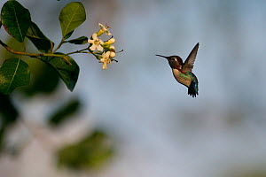 Bee hummingbird (Mellisuga helenae) hovering in front of flower, Guanahacabibes Peninsula National Park, Cuba  -  Pedro  Narra