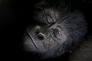 Mountain gorilla (Gorilla beringei beringei) sleeping, close up of face, Bwindi Impenetrable National Park, Uganda.  -  Pedro  Narra
