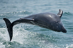 Bottlenose dolphin (Tursiops truncatus) porpoising, Sado Estuary, Portugal. July  -  Pedro  Narra