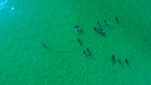 Aerial view of Bottlenose dolphin (Tursiops truncatus) pod. Sado Estuary, Portugal. October  -  Pedro  Narra