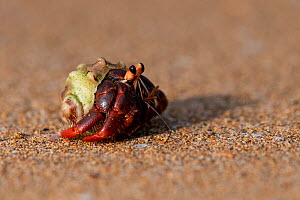 Hermit crab (Coenobita rubescens) Island of Principe, Democratic Republic of Sao Tome and Principe, Gulf of Guinea.  -  Pedro  Narra