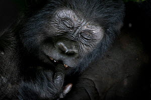 Mountain gorilla (Gorilla beringei beringei) resting, close up of face, Bwindi Impenetrable National Park, Uganda.  -  Pedro  Narra