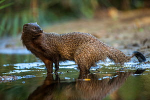 Egyptian mongoose (Herpestes ichneumon). Sado Estuary, Portugal. November  -  Pedro  Narra