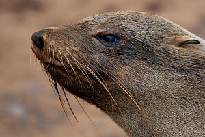 Cape fur seal (Arctocephalus pusillus) Cape Cross seal colony, Namibia  -  Pedro  Narra