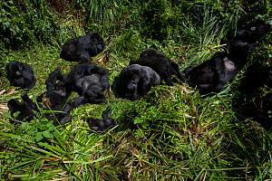 Mountain Gorilla (Goriila beringei) family group resting, Volcanoes National Park, Virunga Mountains, Rwanda.  -  Pedro  Narra