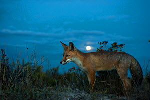 Red fox (Vulpes vulpes) at dusk with moon, Sado Estuary, Portugal. September  -  Pedro  Narra