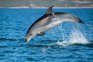 Bottlenose dolphin (Tursiops truncatus) porpoising, Sado Estuary, Portugal. October - Pedro  Narra