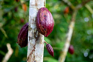 Cocoa plant (Theobroma cacao) fruit in plantation, Principe Island, Democratic Republic of Sao Tome and Principe, - Pedro  Narra